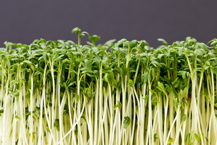 Eigenschaften von gekeimten Weizen (Wheat-Grass)